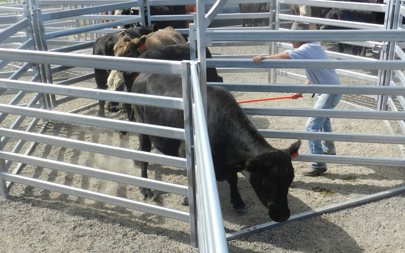 Drafting Cattle with a Pound