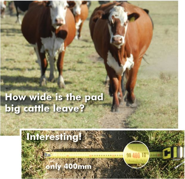 How wide is the pad that big cattle leave - Interesting, only 400mm